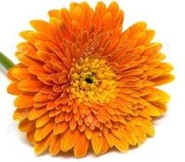 5567624-orange-flower-isolated-on-white-background--Stock-Photo-chrysanthemum