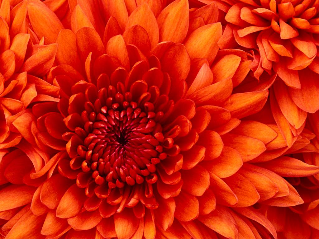 Chrysanthemum (2)